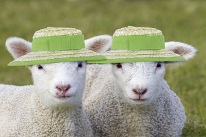 new images april 2019/domestic sheep lambs wearing straw hats easter