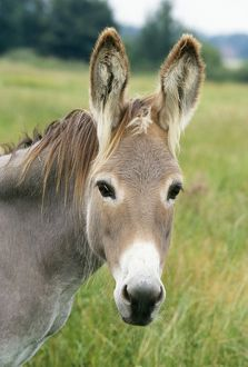 Donkey - close up of head