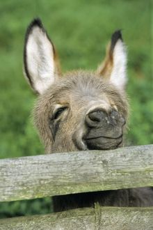 Donkey - foal looking curiously over fence