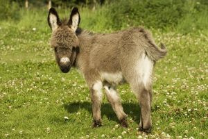 Donkey - foal in meadow