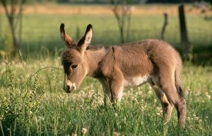 DONKEY - foal in meadow, side on