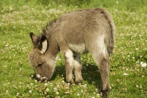 Donkey - foal in meadow grazing