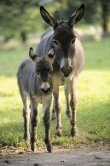 Donkey - foal with mother on meadow