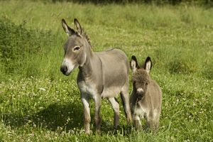 Donkey - with foal standing in meadow