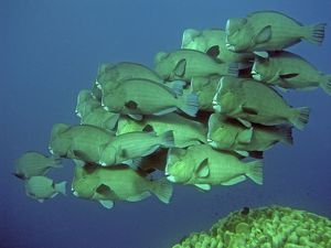 Double-headed / Bumphead / Green Humphead / Giant PARROTFISH - school