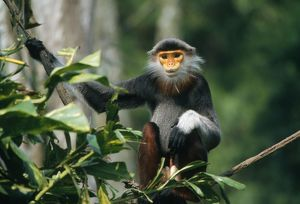 Douc Langur Monkey / Red-shanked Douc