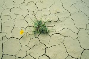 Drought - Buttercup growing in cracked earth