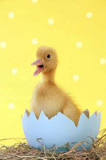 Duckling - in blue egg shell - easter - captionable - cute - yellow