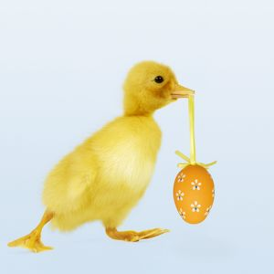 Duckling - carrying easter egg