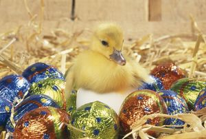 DUCKLING - Muscovy duckling in egg with Easter eggs