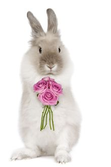Dwarf Lion-head Rabbit - on hind legs holding flowers