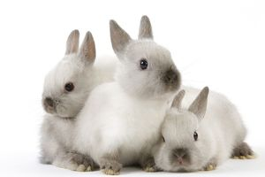 Dwarf Rabbit - with young