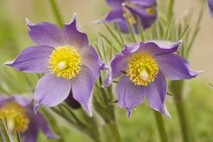 Eastern Pasque flower