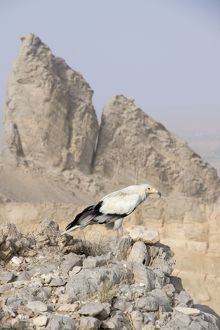 Egyptian Vulture - perched on rocks
