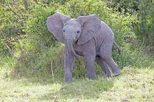 Elephant - Calf threatening