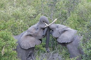 Elephants - Play fighting