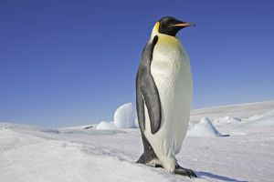Emperor Penguin - adult.