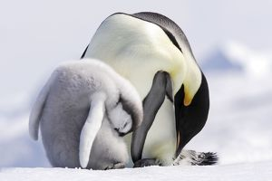 Emperor Penguin - adult and chick sleeping