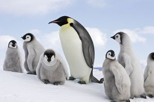 Emperor Penguin - adult with group of chicks