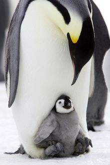 Emperor Penguin - Adult with young