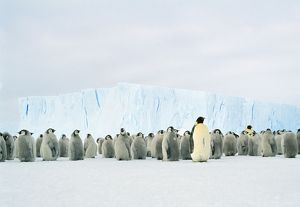 Emperor Penguin - Adult & young in creche