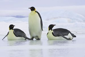 Emperor Penguin - three adults