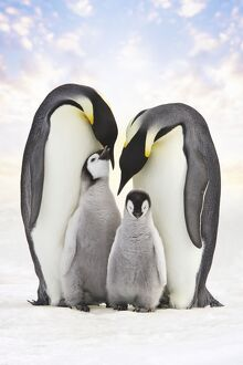 Emperor Penguin - two adults with two chicks