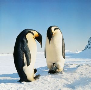Emperor PENGUIN - two adults with chicks sitting on parents feet