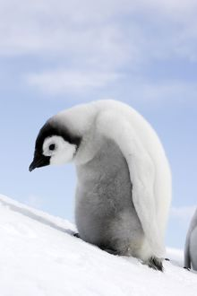 Emperor Penguin - chick