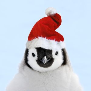 Emperor Penguin - chick wearing Christmas hat