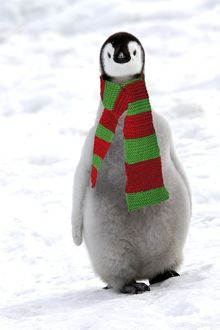 Emperor Penguin - chick, wearing christmas scarf