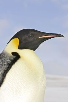 Emperor Penguin - close-up of head
