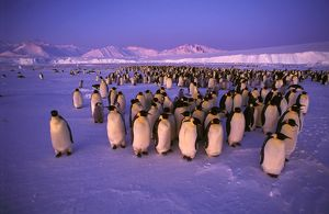 Emperor penguin - colony
