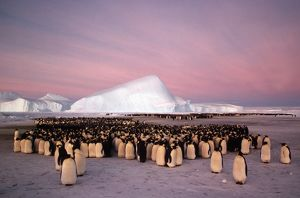 Emperor penguin - colony in winter.