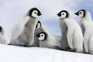 Emperor Penguin - group of chicks