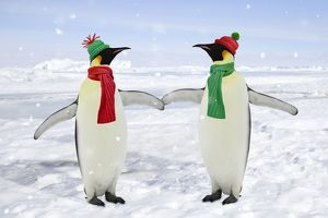 Emperor Penguin - pair holding hands wearing Christmas hats and scarves