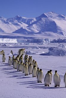 Emperor penguin - walking in a line