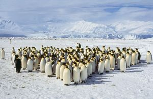 EMPEROR PENGUINS - colony on ice