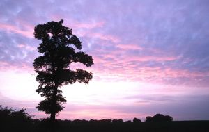 ENGLISH ELM - silhouette at sunset