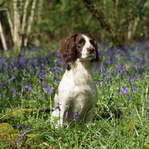 English Springer Spaniel Dog - in bluebells