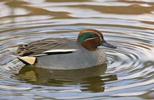 Eurasian Teal - male on water