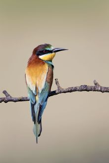 European Bee-eater - summer