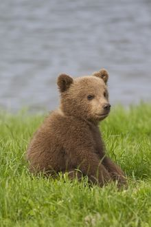 European Brown Bear cub