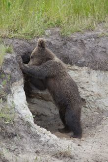 European Brown Bear cub standing at entrance to den