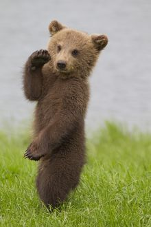 European Brown Bear cub standing upright doing karate
