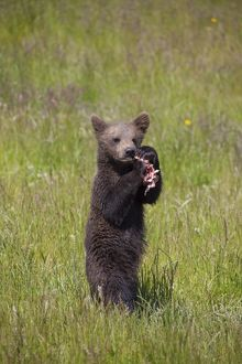 European Brown Bear cub standing upright and eating