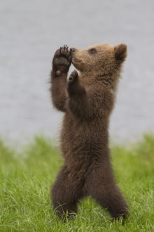 European Brown Bear cub standing upright in grass