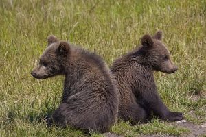 European Brown Bear two cubs