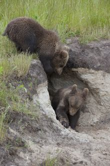 European Brown Bear cubs standing in entrance to den
