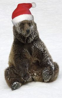 European Brown Bear - Male. Resting after playing in snow, wearing Christmas hat